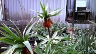 ранний цветок корона(ранний цветок корона., 2014-03-31T03:25:24.000Z)
