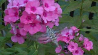 Hummingbird Moth Feeding on Phlox- July 2016