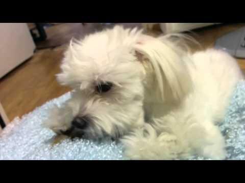Dog eating a bone(Maltese)