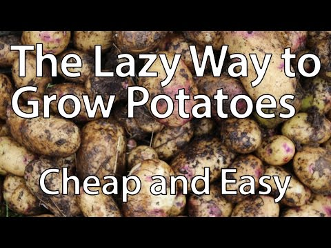 Growing Potatoes the Lazy Way