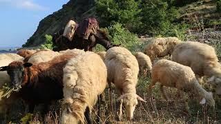 Albania Shepherd / Albanie Berger