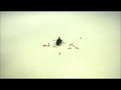 Naturalismo - Muscomorpha