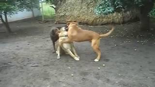 Это нужно досмотреть до конца на Бордоского дога нападает Доберман и Азиат увлекательные бойни собак