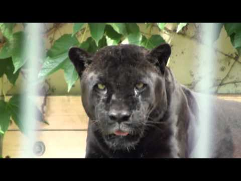 "Zoo Stuttgart Wilhelma - Schwarzer Jaguar ""Petra"""