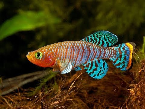 14 Most Colorful Freshwater fish - YouTubeFresh Water Aquarium Gold Fish Images