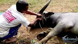 Tradisional : Cara Pasang Tali Kekang / Tindik hidung Kerbau Liar dan Ganas