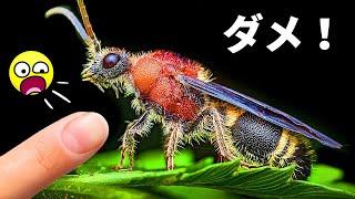 【閲覧注意】このアリに似た虫を見たら、刺されないよう厳重注意!