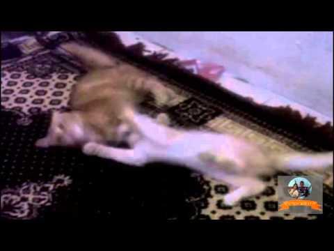 Anggora cat fights