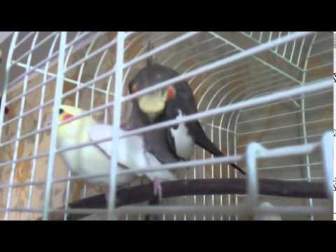 Секс попугаев видео