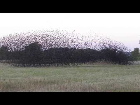 A Large Flock Of Red-winged Blackbirds