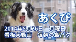 ボーダーコリーの看板犬ローザ 鼻パクを毎朝撮影。 ブログ→ http://ameb...