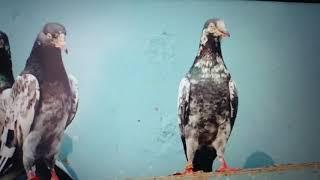 Pakistani Pigeons Teddy