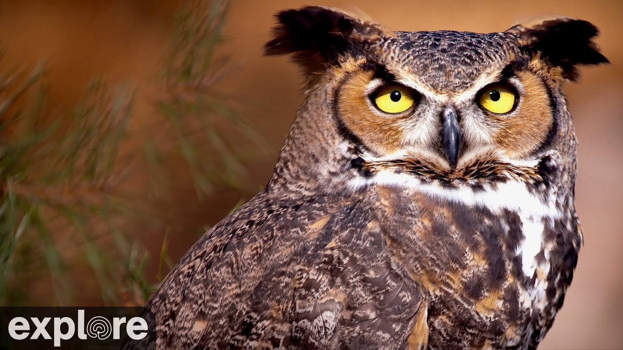 great horned owl powered by exploreorg - Picture Of An Owl
