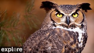 Great Horned Owl powered by EXPLORE.org thumbnail