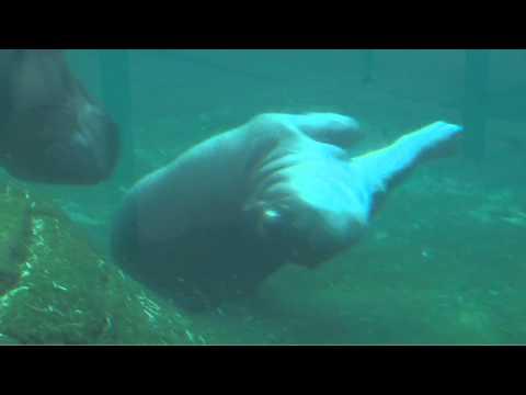 היפופוטם תינוק משחק במים