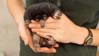 В зоопарке Сиднея впервые за 30 лет родились ехидны (новости)
