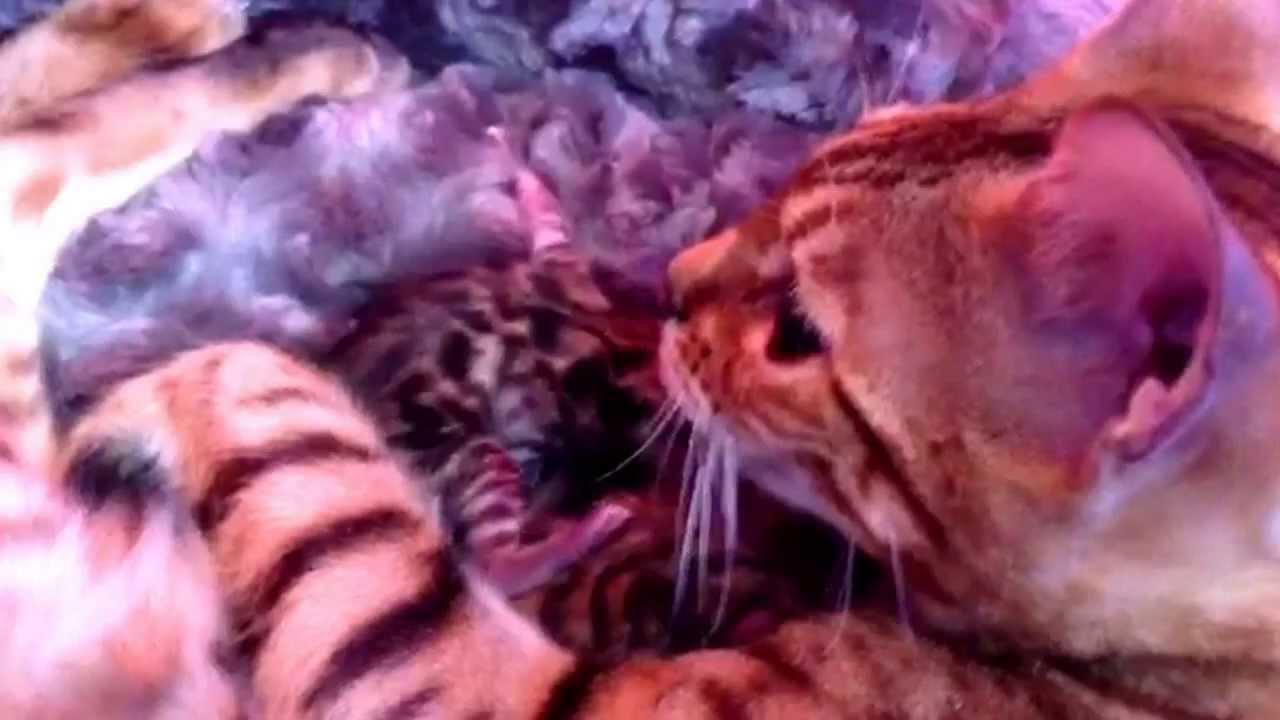 מרענן גורי חתול בנגלי - YouTube QK-41