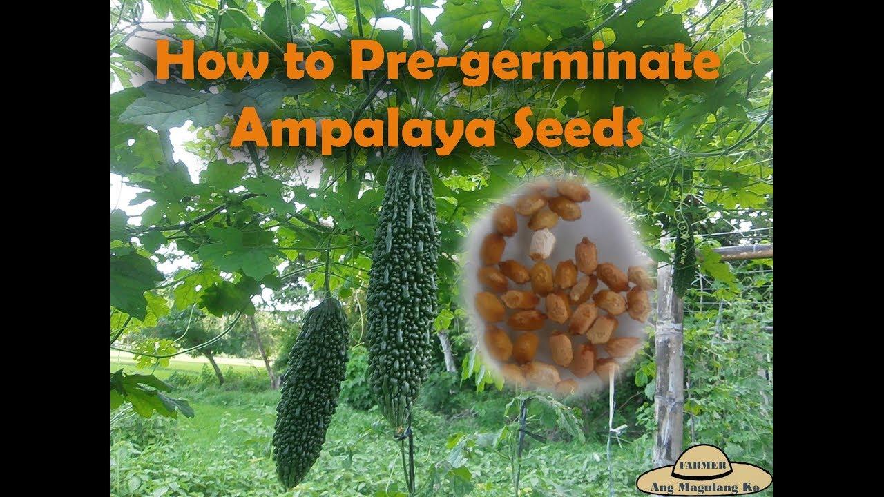 ampalaya seeds content