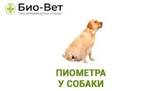 Пиометра у собаки. Ветеринарная клиника Био-вет