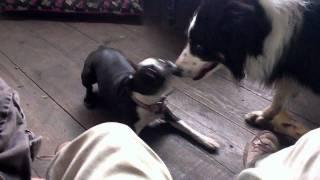 Boston Terrier Hassling Border Collie Over Bones