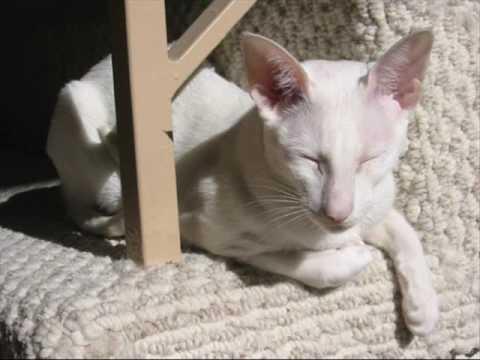 Colorpoint Shorthair Cat 1