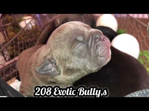 208 Exotic Bully's Bertta Males