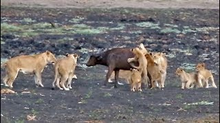 10-lion-cubs-vs-1-buffalo-calf