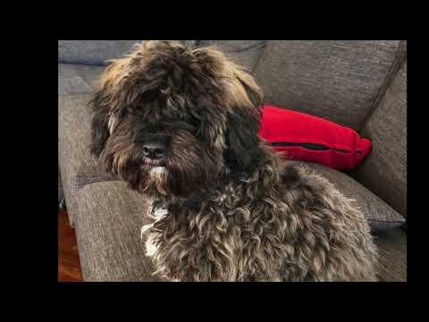 Benny Mini Poodle Maltese Shih Tzu