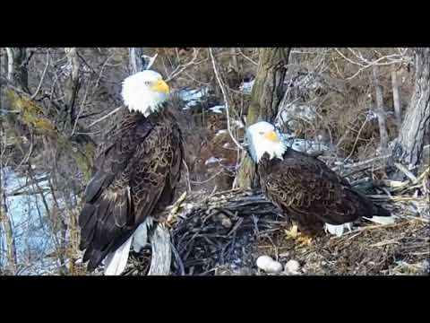 Mn.DNR Bald Eagle Cam~Visitors In The Woods~ 3 4 18