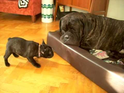 Cane Corso and french bulldog puppy, cute!