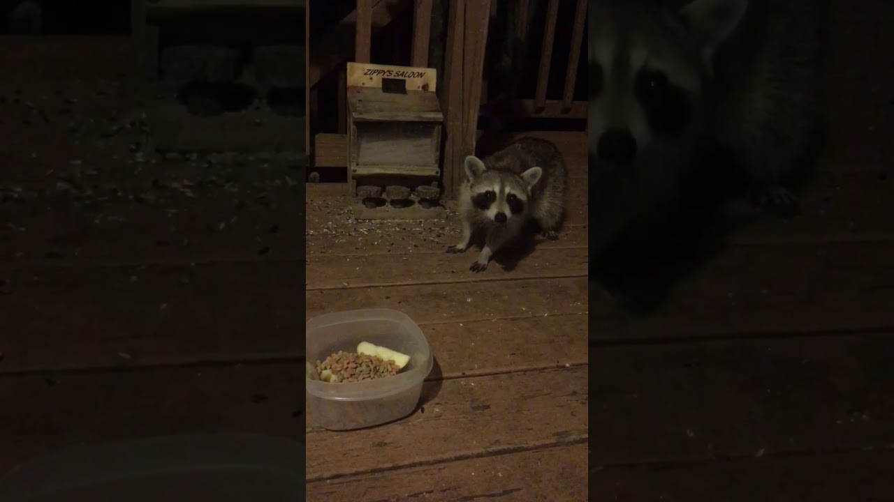Backyard raccoon 🦝 - YouTube