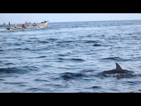 Swarms of dolphins in the Gulf of Aden 3