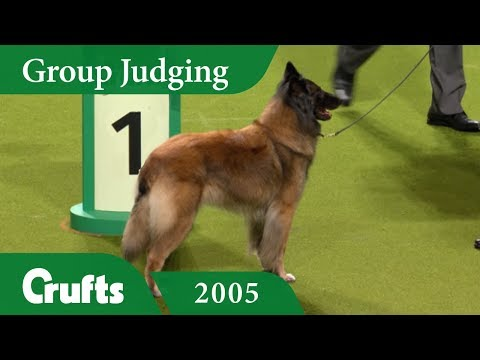 Belgian Shepherd (Tervueren) wins Pastoral Group Judging at Crufts 2005
