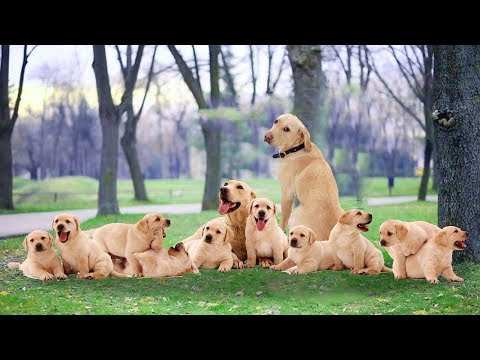 Daddy dog playing with puppy for the first time- Cute dog video