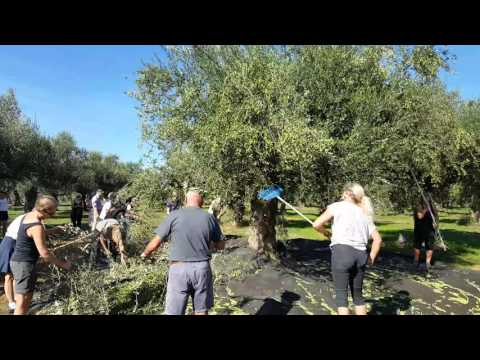 Messinia-Peloponnese Greece - Olive picking by Danish tourists by Trigilidas travel