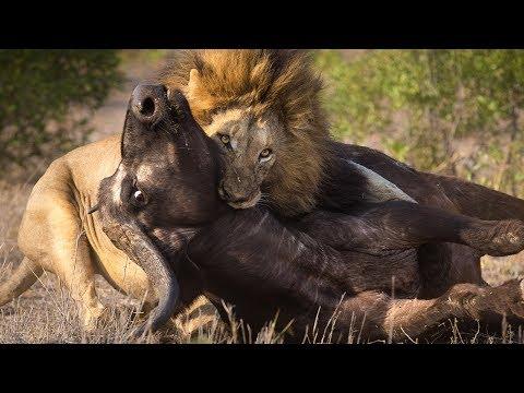 lion-buffalo's-kill-real-fight-the-amazing-by-monetrio-animalfightclub