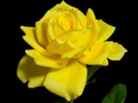 TIME LAPSE FLOWER 1 花の開花微速度撮影1