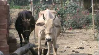 Cow Dancing to Maha Mantra