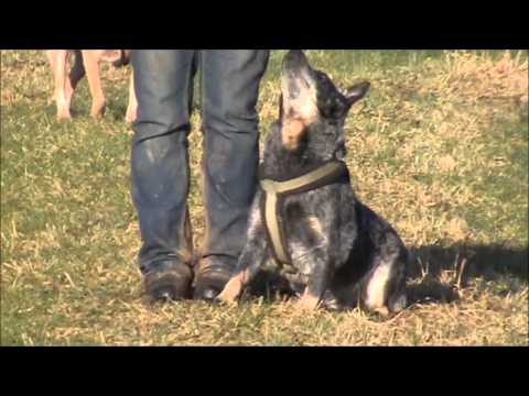 On tour with Australian Cattle Dogs