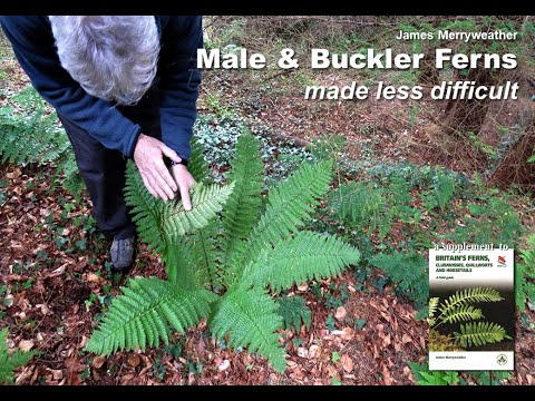 MALE & BUCKLER FERNS made less difficult