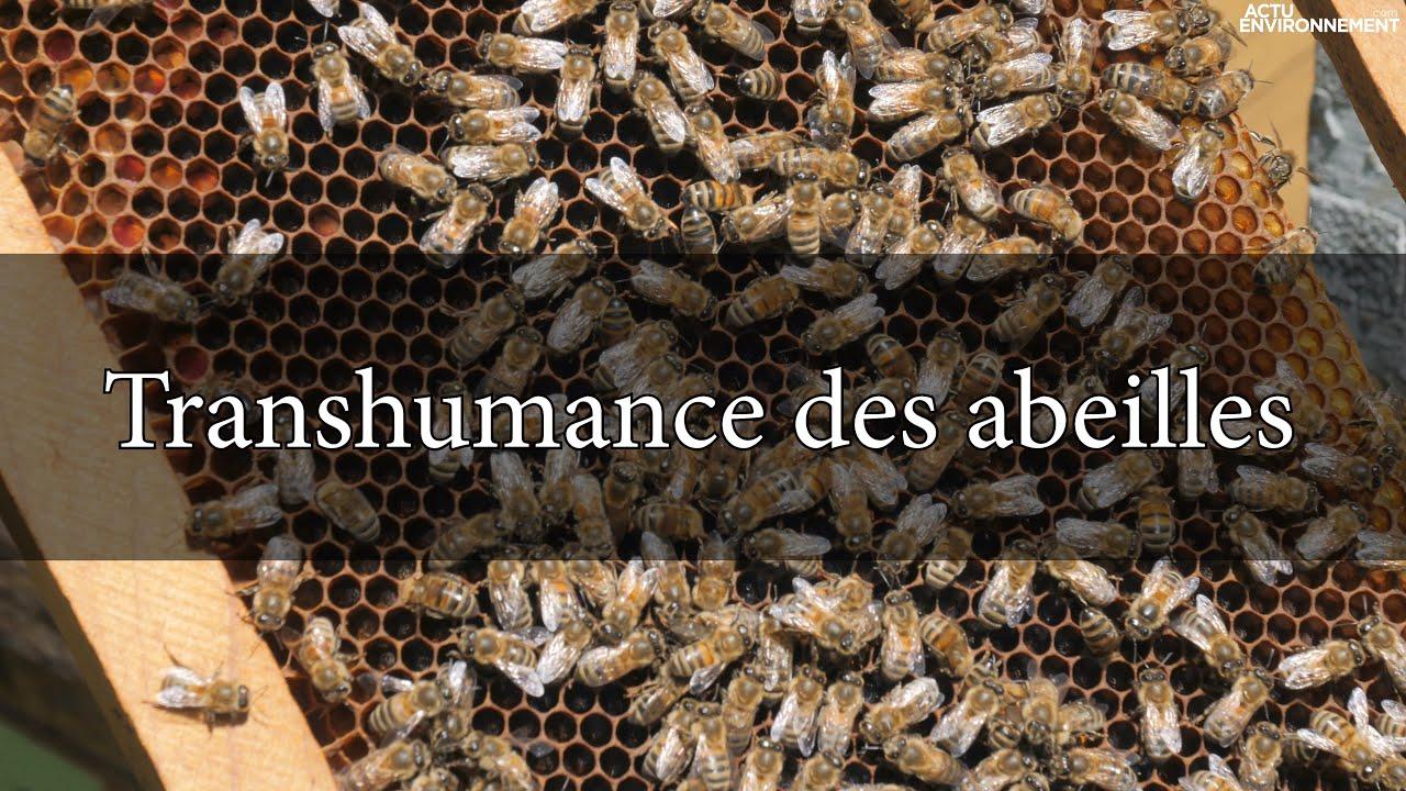 Transhumance des abeilles : direction les champs de lavandes