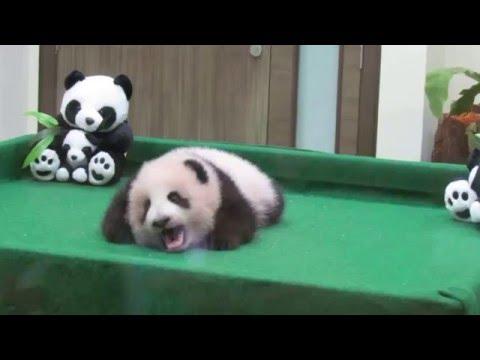 Baby Panda at Zoo Negara Kuala Lumpur Malaysia