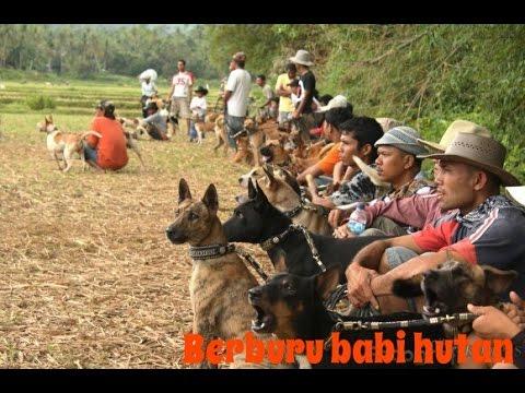Tradisi Berburu Babi Massal di Sumatera Barat | Berburu Bagong /Adu Bagong
