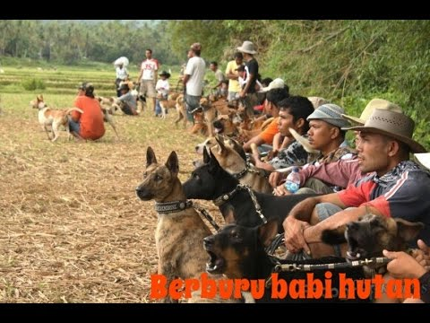 Pig hunting tradition in bulk in West Sumatra, Indonesia