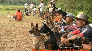 Video Pig hunting tradition in bulk in West Sumatra, Indonesia download MP3, 3GP, MP4, WEBM, AVI, FLV Oktober 2018