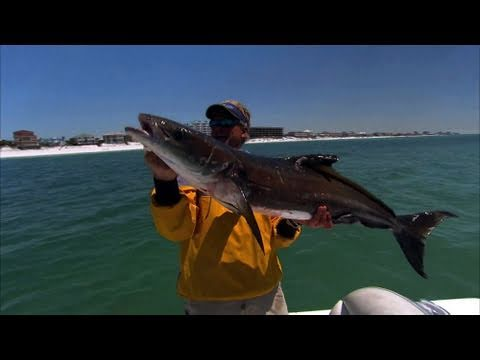 Cobia Fishing Destin Florida With DOA Swimming Mullet