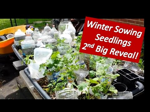 Outstanding Winter Sowing  Nd Big Reveal Growing Vegetable Seedlings From  With Lovable Winter Sowing  Nd Big Reveal Growing Vegetable Seedlings From Seeds In  The Snow With Nice Wicker Garden Pod Also Mustard Garden In Addition Romantic Restaurants Covent Garden And Tiered Garden As Well As Boys Garden Toys Additionally Garden Bridge Plans From Youtubecom With   Lovable Winter Sowing  Nd Big Reveal Growing Vegetable Seedlings From  With Nice Winter Sowing  Nd Big Reveal Growing Vegetable Seedlings From Seeds In  The Snow And Outstanding Wicker Garden Pod Also Mustard Garden In Addition Romantic Restaurants Covent Garden From Youtubecom