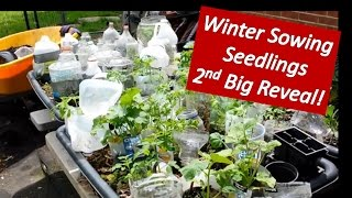 Winter Sowing -  2nd Big Reveal! Growing Vegetable Seedlings from Seeds in the Snow