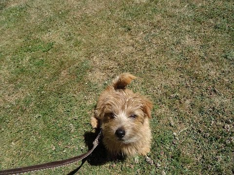 Charlie - Norfolk Terrier Puppy - 12 Day Residential Dog Training at Adolescent Dogs