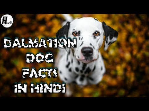 Dalmatian Dog Facts | Hindi | Dog Facts | HINGLISH FACTS